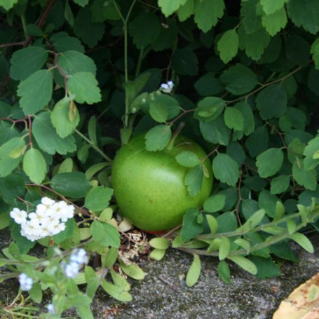 Geocaching Apfel Versteck - Grün