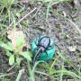 Kever Petlingset - spitsneus